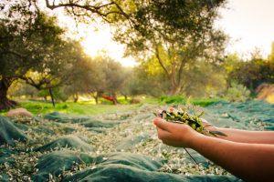 Frische geerntete Oliven auf Kreta