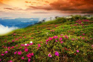 Rhododendron-Wiese in den ukrainischen Karpaten