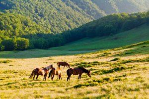 Pferde auf einer Bergwiese der ukrainischen Karpaten