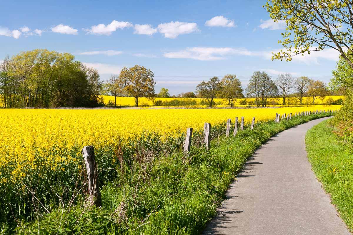 Rapsfeld in Schleswig-Holstein