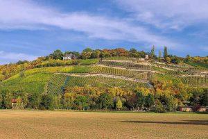 Weinberg in der Saale-Unstrut-Region
